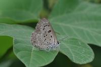 蟻と共に-2- - 蝶と蜻蛉の撮影日記