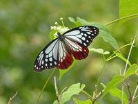 アサギマダラヒヨドリバナの高原で - 蝶のいる風景blog