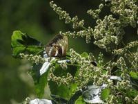 初秋のミスジチョウ - 秩父の蝶