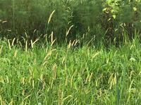 野辺のスズムシ♪ - マリカの野草画帖