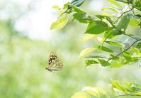 M社の森のオオムラサキほかin2019.07~08東信&関東 - ヒメオオの寄り道