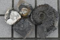 思い出の19年北のプー生活(15)…化石編(4) - ふぉっしるもしてみむとてするなり