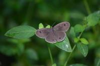 ウラナミジャノメ8月24日 - 超蝶