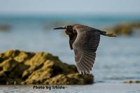 低空飛行 - 野鳥 飛翔フォト