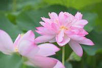 蓮 14奈良県 - ty4834 四季の写真Ⅱ