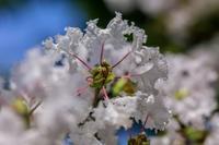 サルスベリ - あだっちゃんの花鳥風月
