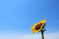 ヒマワリの夏過行く季節 - 平凡な日々の中で
