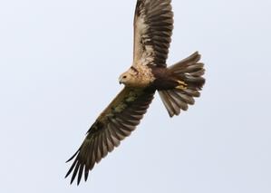 少ないチュウヒ幼鳥 -