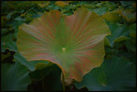 不忍池 -8 - Camellia-shige Gallery 2