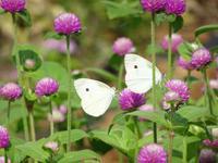 ウラギンシジミと花畑の蝶たち - Magnolia Lane