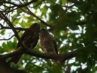 元気でね・・・。アオバズク。 - 鳥見んGOO!(とりみんぐー!)野鳥との出逢い