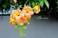 ノウゼンカズラ(凌霄花) - azure 自然散策 ~自然・季節・野鳥~