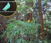 枯れ木にヒカゲチョウの蛹 - 秩父の蝶