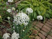 ニラの花とブルーベリー - natural garden~ shueの庭いじりと日々の覚書き