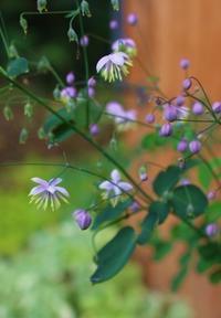 """多花性クレマチス""""ギャロル""""&リコリス - ペコリの庭 *"""
