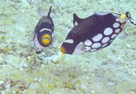卵塊を守るモンガラカワハギのペア - COLORCODE