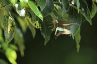 アオスジアゲハ危機一髪 - 気まぐれ野鳥写真