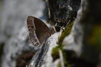 10コジャノメ「蝶図鑑」 - 超蝶