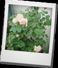 アンブリッジローズ咲きました - khh style