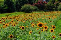 夏の花畑2019馬見丘陵公園の向日葵たち - 花景色-K.W.C. PhotoBlog
