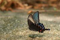 道路で吸水カラスアゲハ - 蝶と自然の物語