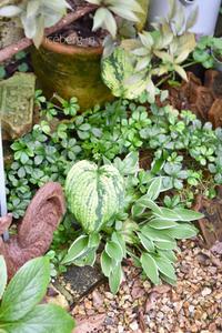 裏庭で冬越ししたシュガーバイン - 小さな庭 2