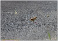 セッカの夏 - 野鳥の素顔 <野鳥と日々の出来事>