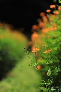 黄花コスモス - モノクロポートレート写真館