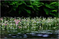 梅花藻 - HIGEMASA's Moody Photo