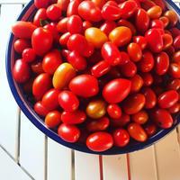 我が家の菜園日記 n.33 トマト収穫~トマトを丸ごと味わう保存食 - 幸せなシチリアの食卓、時々旅