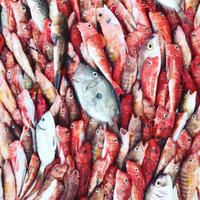 今日も豊漁! 〜 トラーパニの魚市場 - 幸せなシチリアの食卓、時々旅