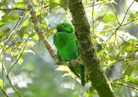 オオミドリヒロハシBorneo - 可愛い野鳥たち