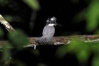 ヤマセミさん - 鳥と共に日々是好日