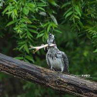 ヤマセミ秘密基地便り - 野鳥大好き写真館|オオタケカメラ