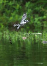 ヤマセミ秘密基地のゲスト① - 野鳥大好き写真館|オオタケカメラ