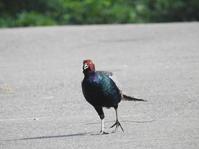 秋田の鳥達 - THE 鳥☆鉄
