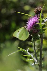 ヤマキチョウの吸蜜と求愛 - 蝶超天国