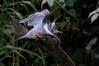 エゾヤマセミ。 - 季節の野鳥~Wildbirds archives