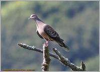 山あいのキジバト - 野鳥の素顔 <野鳥と日々の出来事>