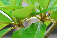 8/25咲かないプルメリア - 「あなたに似た花。」