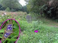 草つゆでのオオムラサキの吸水 - 秩父の蝶