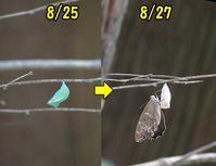 ヒカゲチョウの羽化 - 秩父の蝶
