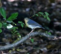 綺麗なコルリ♂を期待していたが・・・ - 一期一会の野鳥たち