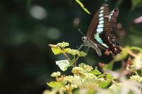 アオスジアゲハ食事と産卵 - 気まぐれ野鳥写真