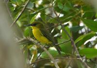 ボルネオモズヒタキBorneo ボルネオ島キナバル公園 - 可愛い野鳥たち