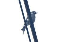 ハイイロオウチュウBorneo ボルネオ島の野鳥 - 可愛い野鳥たち