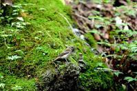 水場にキビタキ幼鳥 - azure 自然散策 ~自然・季節・野鳥~
