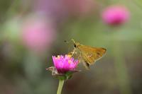 イチモンジセセリ夏の終わりの公園で - 蝶のいる風景blog