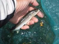 2019年8月16日鮎釣り友釣り福岡県八女市矢部川水系 - 川と海と友