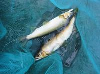 2019年8月18日鮎釣り友釣り大分県日田市三隈川 - 川と海と友